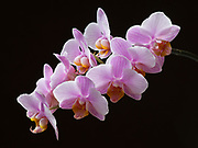 Phalaenopsis orchid blooming in Fred Hirschmann's Dumpster Dive Orchid Collection, Glacier View, Alaska.