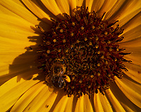 Bee feeding on a Sunflower. Image taken with a Leica SL2s camera and Laowa 24 mm f/14 macro lens.