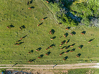 Aerial view of people leading herd of cattle in the pasture at Karditsa region, Greece