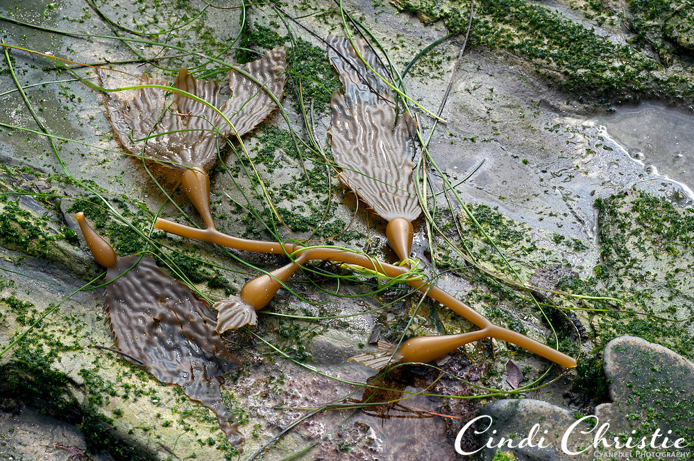 Kelp is found in abundance at Crystal Cove State Park on Oct. 21, 2010. (© 2010, Cindi Christie/Cyanpixel Photography)