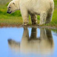 This Polar Bear briefly posed for this portrait with reflection near the Nanuck backcountry lodge south of Churchill in Manitoba Canada on the Hudson Bay.