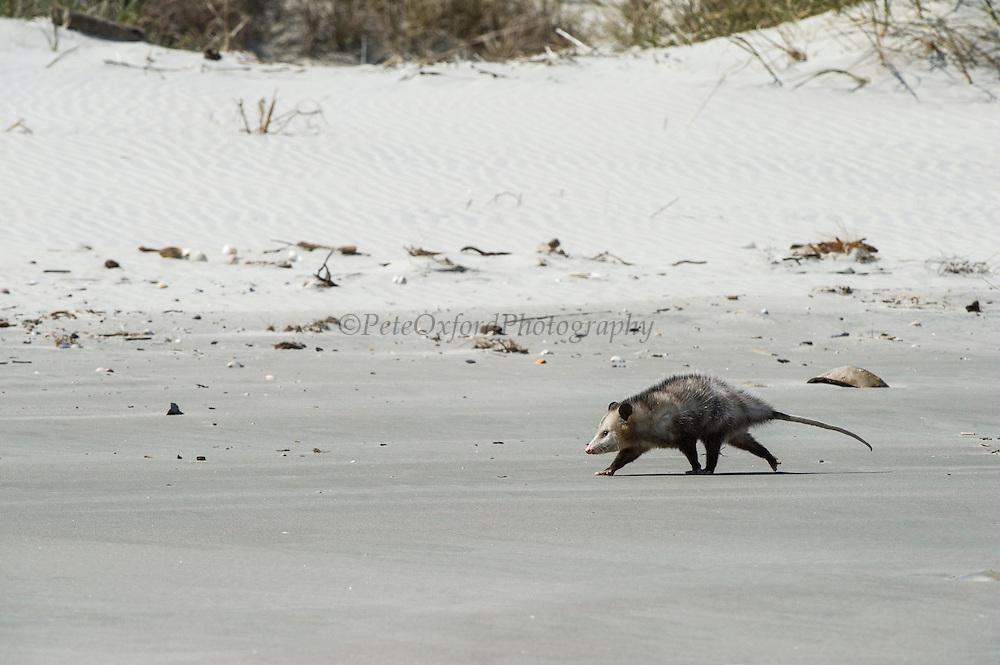 Virginia opossum (Didelphis virginiana) on beach<br /> Little St Simon's Island, Barrier Islands, Georgia<br /> USA