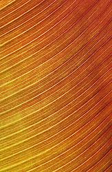 The backlit leaf of Ensete ventricosum 'Maurellii' ( Red banana ).