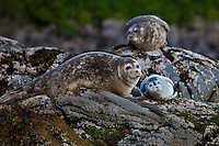 Animals, seal family with baby.<br />