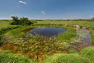Brackish Water-crowfoot - Ranunculus baudotii