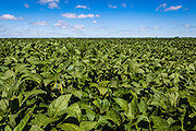 2015/03/04 – Monte Maiz, Argentina: Soy field in Monte Maiz. The town Monte Maiz was named by the amount of corn that once used to be produced on the region. Nowadays soy cultivation took over and it is rare to see any other crop produced. With the intense production of soy and the usage of agro-chemicals many problems arise, such like respiratory and cancer related diseases and environmental issues like contamination of soil and water reserves. (Eduardo Leal)