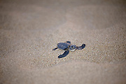 Loggerhead sea turtle, Caretta caretta, on the beach in Northern Cyprus