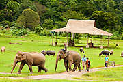 """27 JUNE 2011 - CHIANG MAI, THAILAND: """"Mahouts"""" or elephant handlers, bring elephants back into camp headquarters from the field at the Elephant Nature Park near Chiang Mai, Thailand. Elephant Nature Park rescues working elephants abused by the owners. Many of the rescued elephants used to work """"begging"""" in the tourist districts of Bangkok and other Thai cities. A few of the elephants were injured by landmines on the Thai-Burma border. Tourists are not allowed to come into close contact with bull elephants because they are more unpredictable and aggressive than the cows.    PHOTO BY JACK KURTZ"""