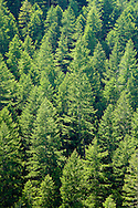 Backlit homogenous Douglas Fir second growth forest above the Quilcene River near Walker Pass in the Olympic National Forest, Washington, USA