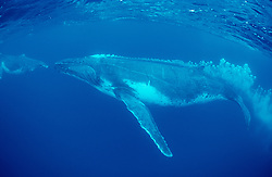 Megaptera novaeangliae, Buckelwal, humpback whale, Tonga, Polynesien, Polynesia