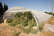 tomatoes growing in a polytunnel South France