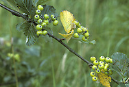 Sorbus lancastriensis (Rosaceae) HEIGHT to 5m<br /> A shrub or small tree. LEAVES Ovate, the margin with short, sharp teeth; 8-10 pairs of veins and leaves are downy below. REPRODUCTIVE PARTS Flowers and fruits are borne on slightly downy stalks. Fruits are red, to 1.5cm long, with prominent lenticels when ripe. STATUS AND DISTRIBUTION Mainly confined to limestone rocks in NW England.