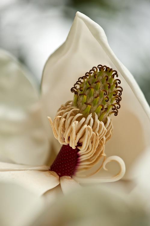 Southern Magnolia flower, macro view, Houston, Texas