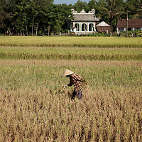 An elderly village woman plucks errant stalks of rice that were missed during the rice harvest outside of Thủy Phư commune near Phu Bai town, Vietnam on April 25, 2013.