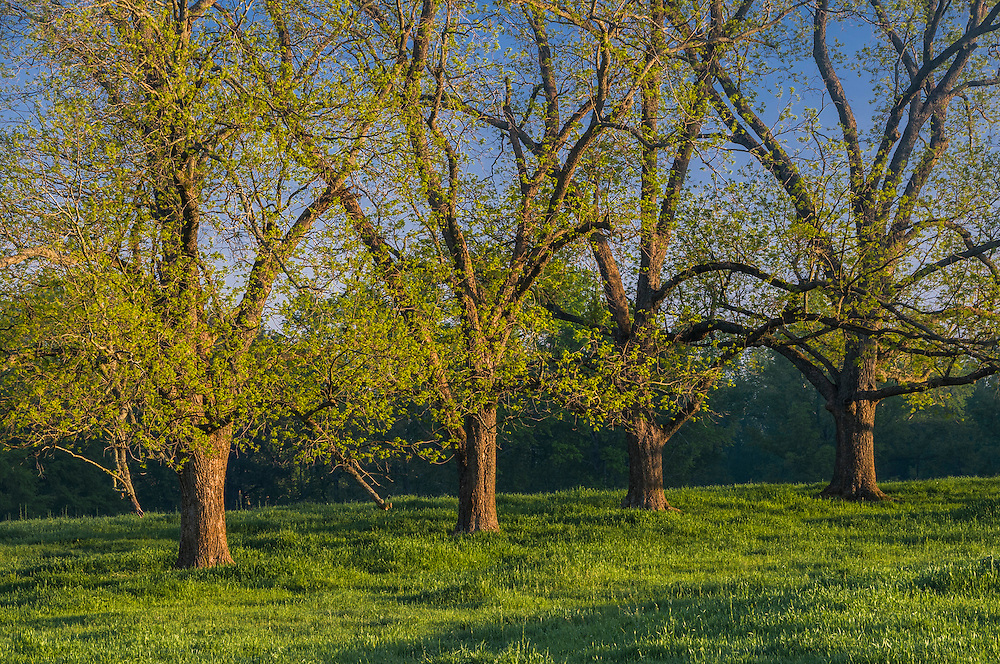 Row of trees in pasture, spring greens early am sun, Woodbury, GA
