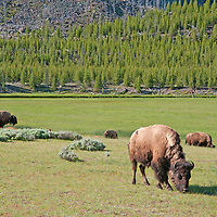 American Bison (Bison bison) graze meadows in  Yellowstone National Park, Wyoming.