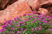 Wildflowers, Canyon de Chelly National Monument, Arizona USA