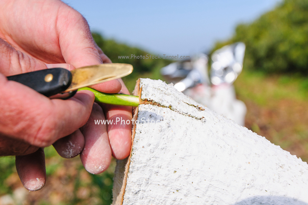 Grafting an avocado tree. worker grafts a hybrid cultivar of avocado to a large avocado tree stump. The grafts will utilize the existing roots of the rootstock stump but produce a caltivar of scion. Photographed in an Avocado plantation in Israel in March