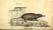 Shrew from General zoology, or, Systematic natural history Part I, by Shaw, George, 1751-1813; Stephens, James Francis, 1792-1853; Heath, Charles, 1785-1848, engraver; Griffith, Mrs., engraver; Chappelow. Copperplate Printed in London in 1800. Probably the artists never saw a live specimen