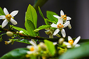 Orange tree blossoms flowering Orange tree. Photographed in Israel in March