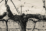 Black and white image of an old vine from one of the Peres Balta vineyards in the Penedes