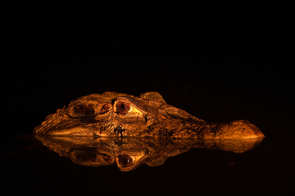 Black Caiman (Melanosuchus niger)<br /> Rainforest<br /> Rewa River<br /> Iwokrama Reserve<br /> GUYANA. South America<br /> RANGE: Amazon River basin and Guyana Shield<br /> Appendix I by the Convention of International Trade of Endangered Species  (CITES) - threatened with extinction.