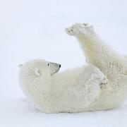 Polar Bear (Ursus maritimus) playing with his feet. Hudson Bay, Canada