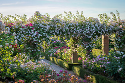 The Long Garden at David Austin Roses with Rosa 'Paul's Himalayan Musk' AGM growing over the pergola.
