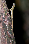 Female of the Sulawesi lined gliding lizard (Draco spilonotus) from Tangkoko National Park, northern Sulawesi, Indonesia