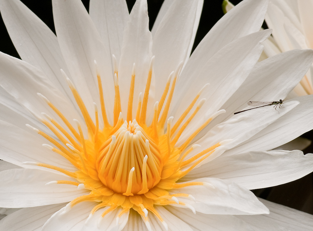 Waterlily with Damselfly