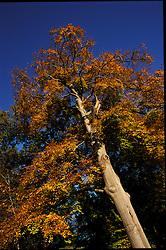 tree, boom, flora Herfstblad, Autumn leave