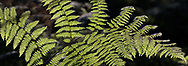 Sunlight shines through a Bracken Fern (Pteridium aquilinum) near Mclean Pond at Campbell Valley Park in Langley, British Columbia, Canada.
