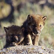 Gray Wolf, (Canis lupus) Young pups. Montana.  Captive Animal.