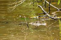 Spectacled Caiman (Lagarto), Caiman crocodilus, floats in the Tortuguero River (Rio Tortuguero) in Tortuguero National Park, Costa Rica