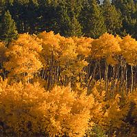 Fall-colored aspens highlight southern slopes of Gallatin Valley, near Bozeman Montana.