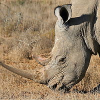 Africa, South Africa, Kwandwe. The Southern White Rhino.