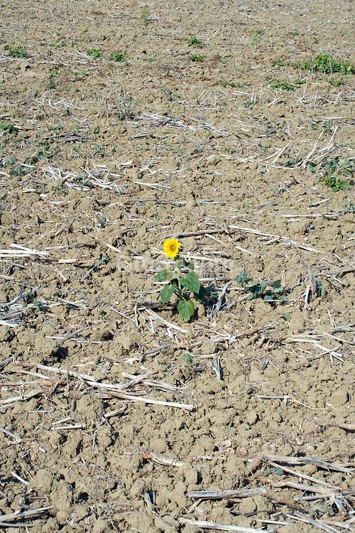 one single sunflower in a plowed field