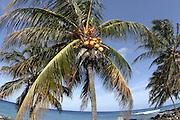 Coconut Palm Tree<br />