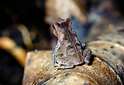 Toad from the rainforest of La Selva, Ecuador. Possibly Rhinella sp.
