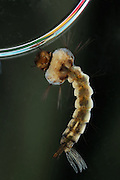 Mosquito larva (Culicine sp.). At the end of the abdomen is a breathing siphon that ends in a spiracle. This is held out of the water to allow the larva to breathe. The mosquito's larval stage lasts for between 1 to 2 weeks. During this time the larva lives underwater, feeding on algae and detritus. Photograhed in Upstate New York in the summer..