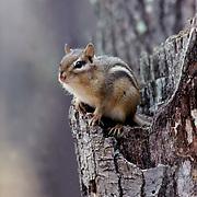 Eastern Chipmunk, (Tamias striatus) Sitting on broken tree stump. Fall.