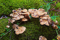 Honey mushrooms (Armillaria sp.) in a wet forested area near Coal Creek in Bellevue, Washington. As with many mushrooms, exact species are hard to distinguish and the taxonomy keeps changing, but luckily all of these honey mushrooms are edible and quite a commonly-collected type prized by forest foragers. It is advised that these be thoroughly cooked as these mushrooms are said to have variable levels of toxicity when eaten raw.