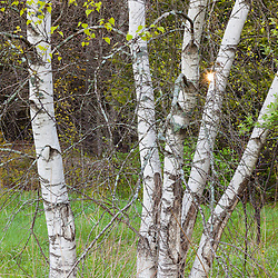 """Paper birch trees, Betula papyrifera, on the edge of a field in Durham, New Hampshire. A.K.A. """"white birch."""""""