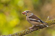 Hawfinch (Coccothraustes coccothraustes) perched on a branch. This finch has short tail and has a stong beak for cracking seeds such as cherry stones. It is found in woodlands throughout Europe and temperate Asia. Photographed in Israel in January