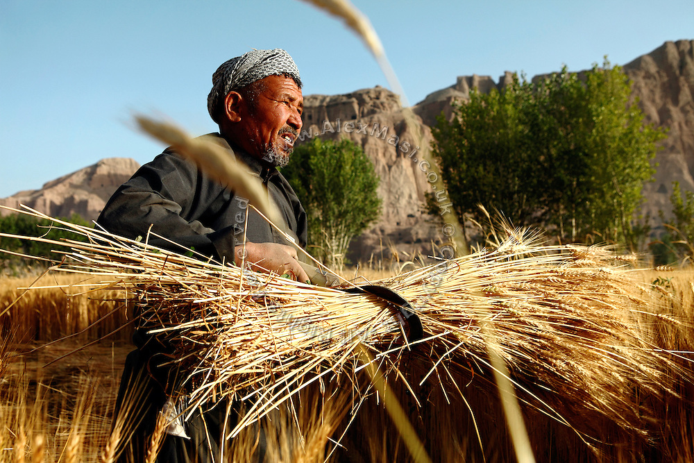 A villager is harvesting wheat in one of the fields located next to the Buddhas of Bamiyan's archaeological site. The Buddhas of Bamiyan were two 6th century monumental statues of standing Buddhas carved into the side of a cliff in the Bamiyan valley in the Hazarajat region of central Afghanistan, situated 230 km northwest of Kabul at an altitude of 2500 meters. The statues represented the classic blended style of Gandhara art. The main bodies were hewn directly from the sandstone cliffs, but details were modelled in mud mixed with straw, coated with stucco. Amid widespread international condemnation, the smaller statues (55 and 39 meters respectively) were intentionally dynamited and destroyed in 2001 by the Taliban because they believed them to be un-Islamic idols. Once a stopping point along the Silk Road between China and the Middle East, researchers think Bamiyan was the site of monasteries housing as many as 5,000 monks during its peak as a Buddhist centre in the 6th and 7th centuries. It is now a UNESCO Heritage Site since 2003. Archaeologists from various countries across the world have been engaged in preservation, general maintenance around the site and renovation. Professor Tarzi, a notable An Afghan-born archaeologist from France, and a teacher in Strasbourg University, has been searching for a legendary 300m Sleeping Buddha statue in various sites between the original standing ones, as documented in the old account of a renowned Chinese scholar, Xuanzang, visiting the area in the 7th century. Professor Tarzi worked on projects to restore the other Bamiyan Buddhas in the late 1970s and has spent most of his career researching the existence of the missing giant Buddha in the valley.