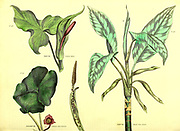 Common Arum, Dumb Cane Arum, Asarum [common Asarabacca] from Vol 1 of the book The universal herbal : or botanical, medical and agricultural dictionary : containing an account of all known plants in the world, arranged according to the Linnean system. Specifying the uses to which they are or may be applied By Thomas Green,  Published in 1816 by Nuttall, Fisher & Co. in Liverpool and Printed at the Caxton Press by H. Fisher