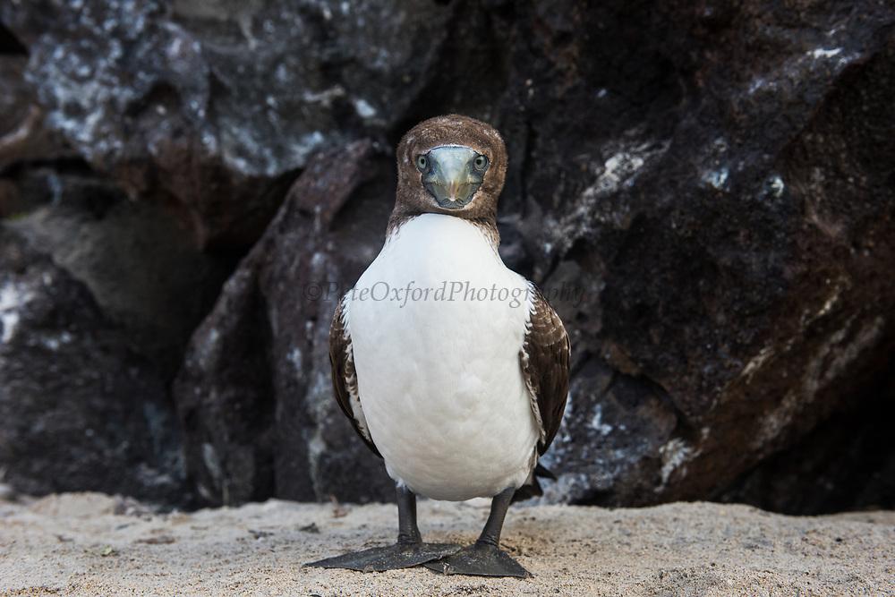 Red-footed booby (Sula sula) juvenile<br /> Tower Island<br /> GALAPAGOS,  Ecuador, South America
