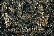 Stargazer (Uranoscopus sulphureus) - In addition to the top-mounted eyes, stargazers also have a large upward-facing mouth in a large head. Their usual habit is to bury themselves in sand, and leap upwards to ambush prey (benthic fish and invertebrates) that pass overhead. | Sterngucker (Uranoscopus sulphureus) - Die Himmelsgucker (Uranoscopidae) sind eine Familie von Fischen der Ordnung der Barschartigen Ihr Name rührt daher, dass sie meistens im sandigen oder schlammigen Boden vergraben sind und nur die hochstehenden Augen an der Oberseite des Kopfes sichtbar sind. Außerdem sind die meisten Arten mit einem Giftstachel ausgestattet.