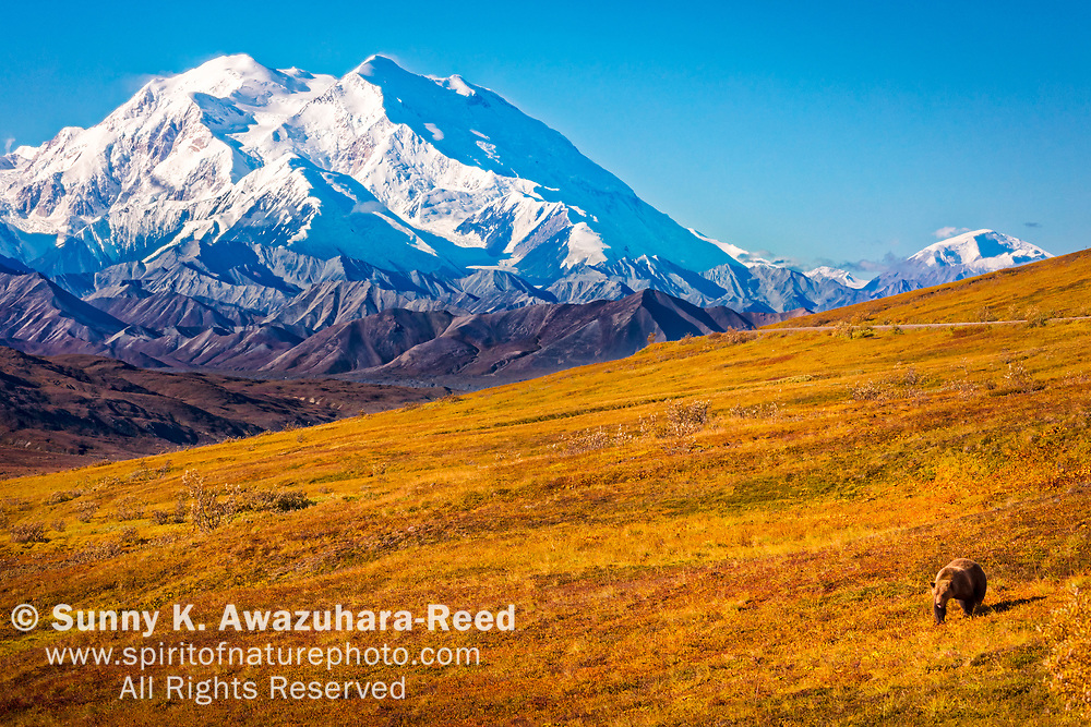 Grizzly Bear stroll on fall color tundra hill with view of Mount Denali (McKinley). Denali National Park & Preserve, Interior Alaska, Autumn.