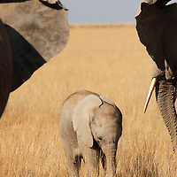 Africa, Kenya, Amboseli. Baby Elephant of Amboseli framed by ears or protective adults.